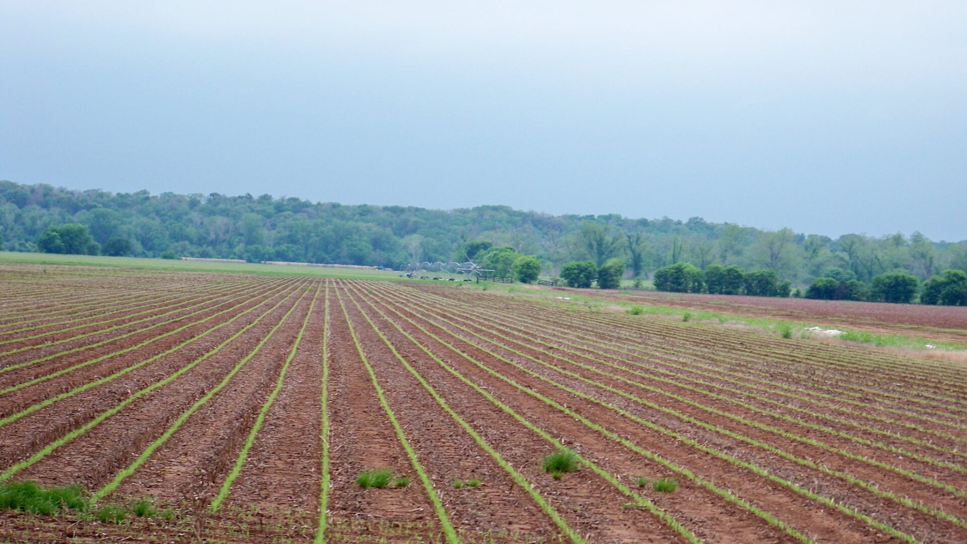 Newly planted cotton